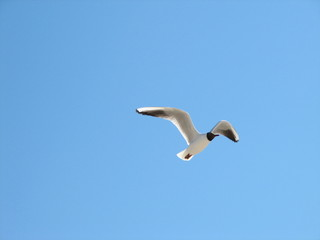 flying gull mew 2