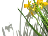 daffodils and shadows poster