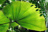 fan palm tree leaf poster