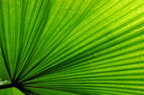 fan palm leaf poster