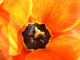 orange yellow tulip