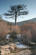 el pino y el río