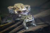 erdkröten poster