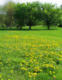 dandelion meadow poster