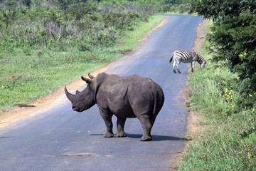 nashorn und zebra