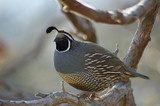 quail sitting on the tree poster