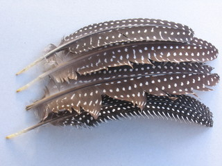 guineafowl feathers in line