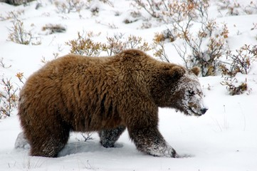 grizzly denali national park
