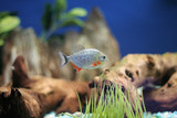 red bellied piranha poster