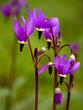 shooting stars - oregon wildflowers