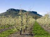 pear orchard in bloom poster