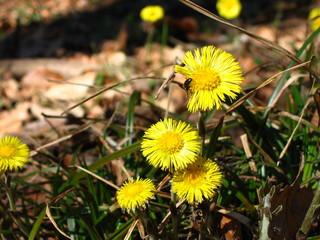insektenblume