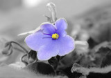 violet flower (viola odorata) background gray poster