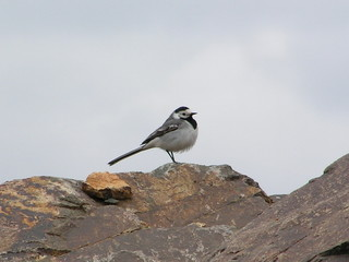 wagtail 2