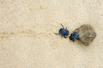 two dung beetles battling with a large dung ball