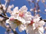 mandelblüte / mallorca - 563281