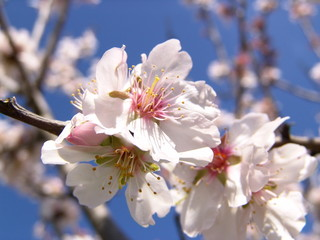 mandelblüte / mallorca
