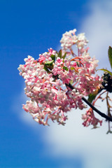 pink viburnum, blue sky and cloud