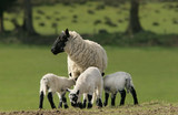 mother sheep and triplets poster