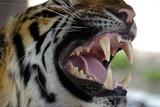 tiger snarls, thailand poster