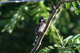 red vented bulbul, looking right poster