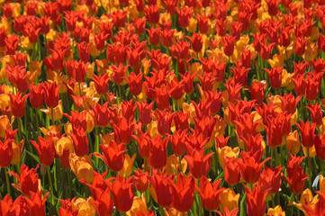 tulip madness