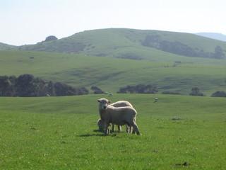 mouton de nouvelle-zélande