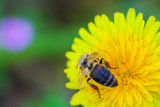 bee collecting honey from a dandelion flower poster