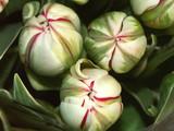 bouquet de tulipes carnaval poster