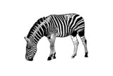 zebre illustration poster