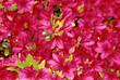 abundant azaleas