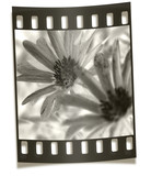filmstrip negative - flower macro poster