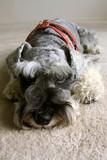 Miniature Schnauzer Dog poster