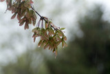 spring tree buds dripping with rain poster