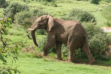 éléphant marchant he ark