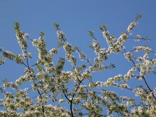 branches de cerisier