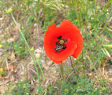 the bug on a scarlet poppy poster