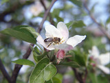 apple blossom and a bee poster