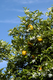 orange blossoms 5 poster