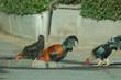 chicken reflections
