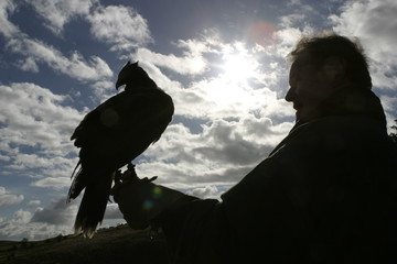 harris hawk with handler