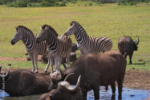Foto op Plexiglas Buffel buffalo & zebra