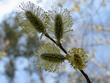 catkins of pussy-willow poster