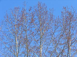 spring poplar trees