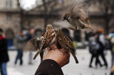 france, paris: notre dame, feeding the sparrows poster
