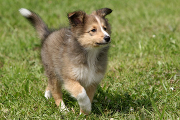 puppy - sheltie