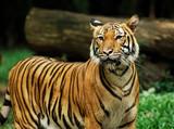 indonesia, sumatra: tiger poster