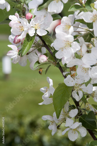 crab apple in spring