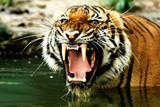 tiger of bengal poster