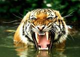 Fototapeta tiger of bengal